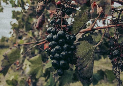 vini tipici romagnoli